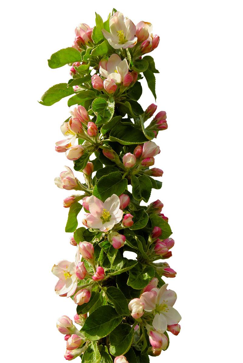Blommande pelaräppelträd