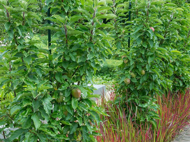 Äppelträd som rumsdelare i trädgård