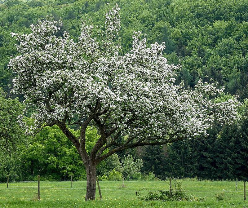 Gammalt äppelträd i naturen