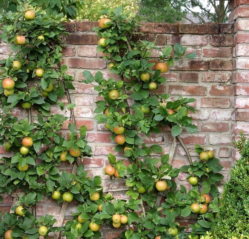 Spaljérat äppelträd med svagväxande grundstam