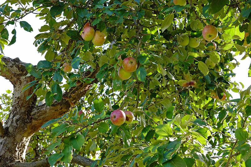 Storvuxet äppelträd med grundstam A2