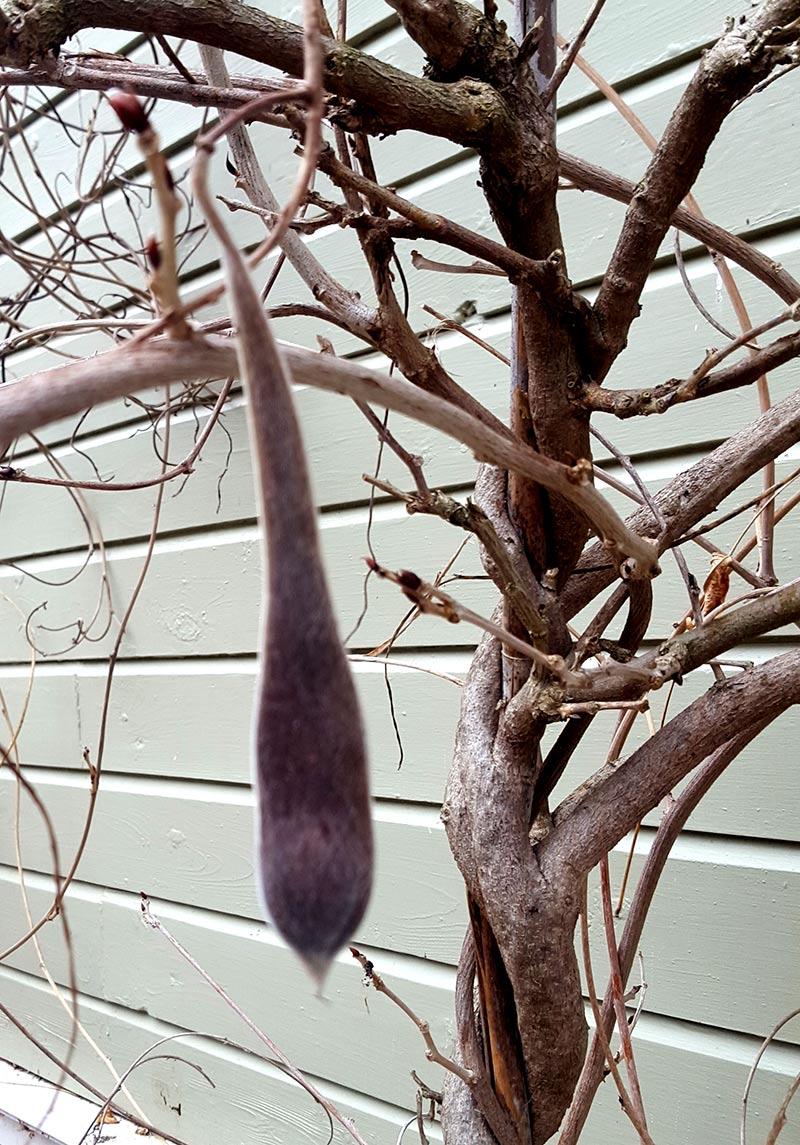 Frökapsel på en blåregnsplanta
