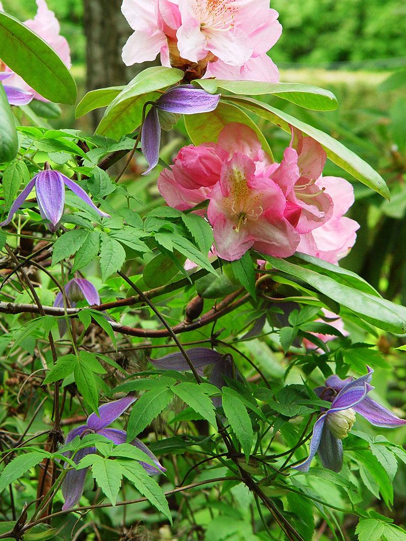 vårblommande klematis med rhododendron