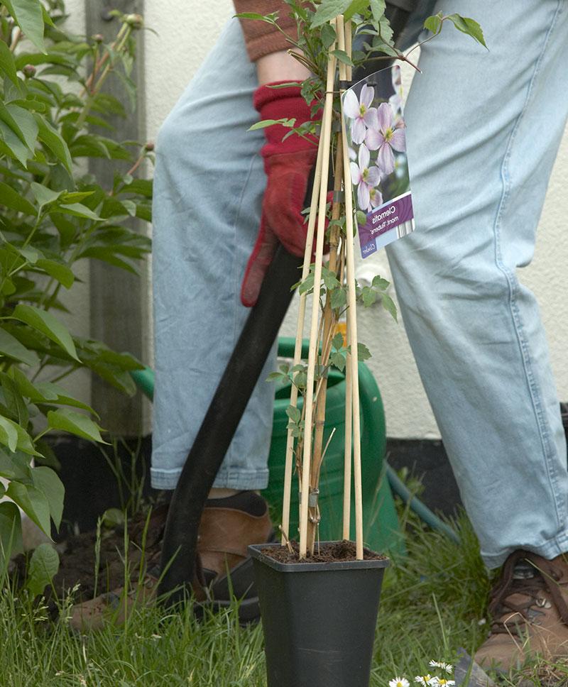 Plantering av klätterväxt klematis