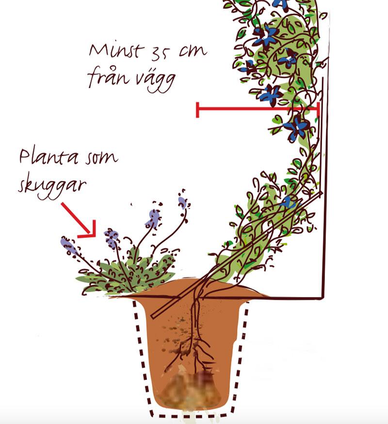 Korrekt plantering av klätterväxt