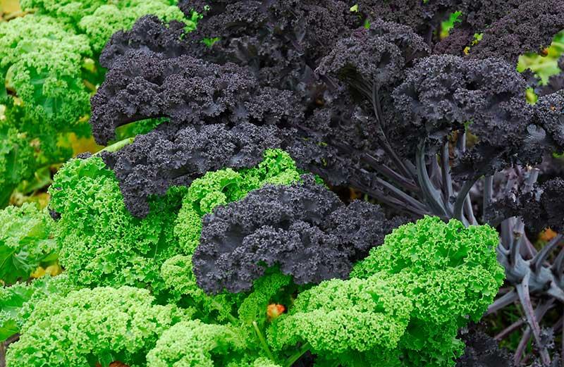 Mörkbladig purpurkål och grönkål i odling