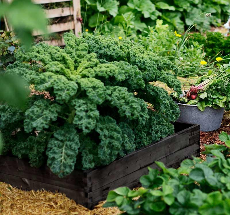 Grönkål odling i pallkrage
