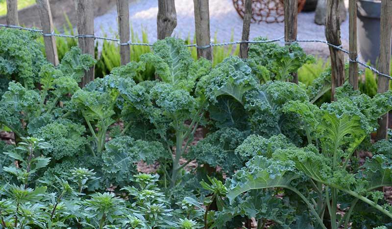 Grönkål odling i köksland med samodling