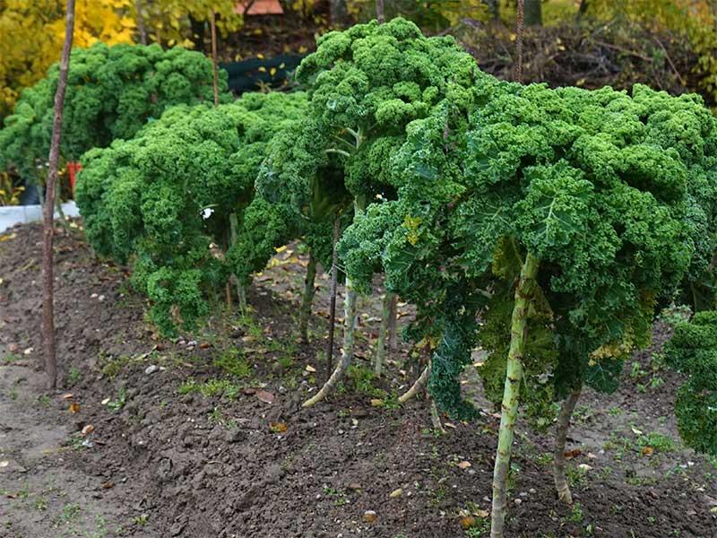 Skörd av grönkål i köksland