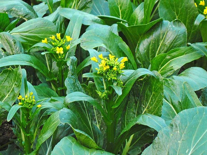 Choi sum asiatisk bladgrönsak blomsellerikål