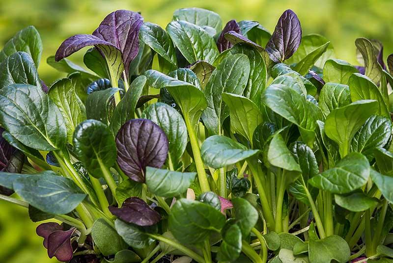 Komatsuna asiatisk bladgrönsak senapsspenat i odling som småblad