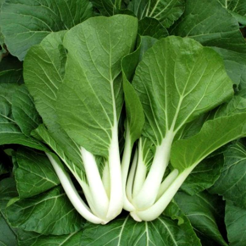 Odling av pak choi asiatisk bladgrönsak