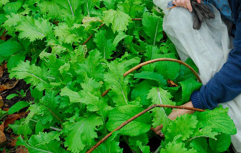 Odling av mizuna under fiberduk