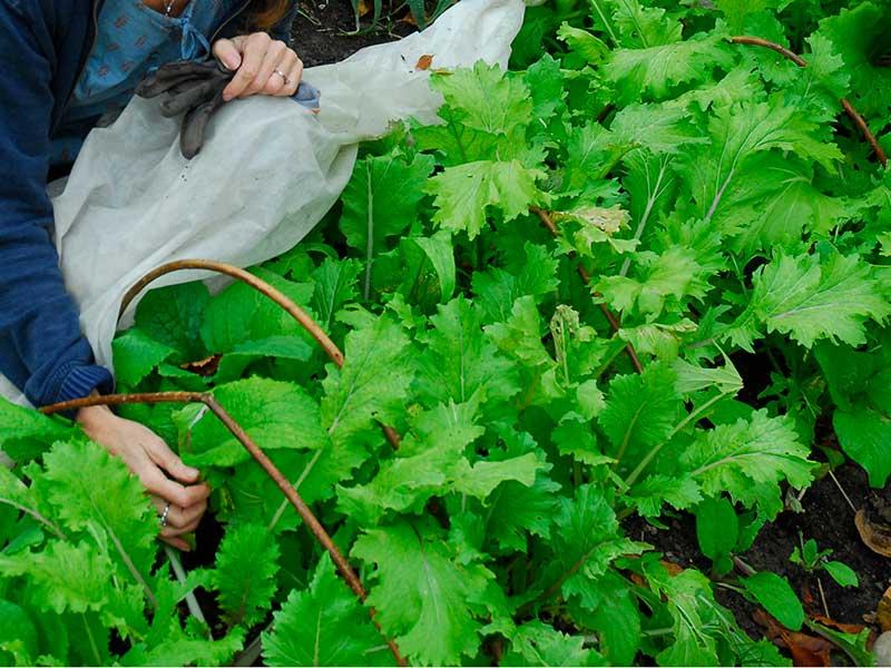 Odling av mizuna sallad asiatisk bladgrönsak med fiberduk i oktober