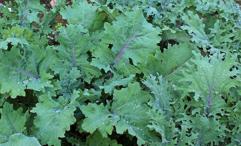 sibirisk bladraps odling asiatisk bladgrönsak