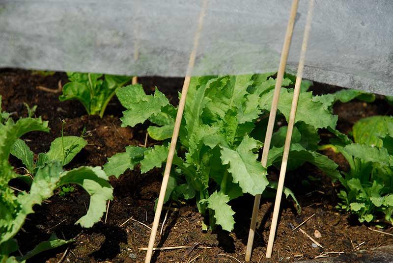 Odling av asiatiska bladgrönsaker mizuna med fiberduk