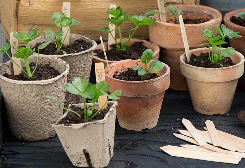 Småplantor av selleri