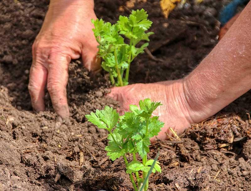 Utplantering av selleri