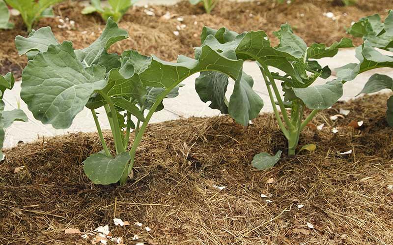 Broccoli odlad med marktäckning