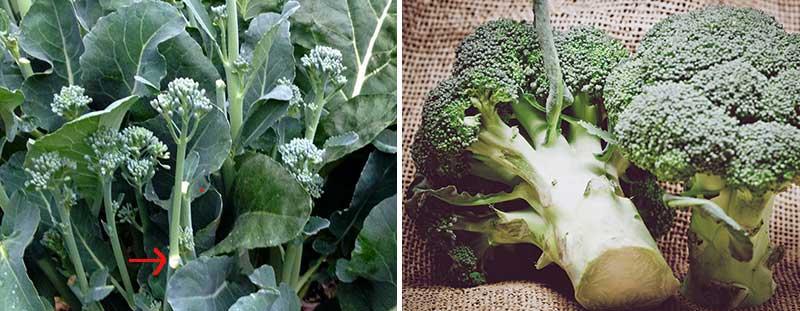 Skörd av broccoli