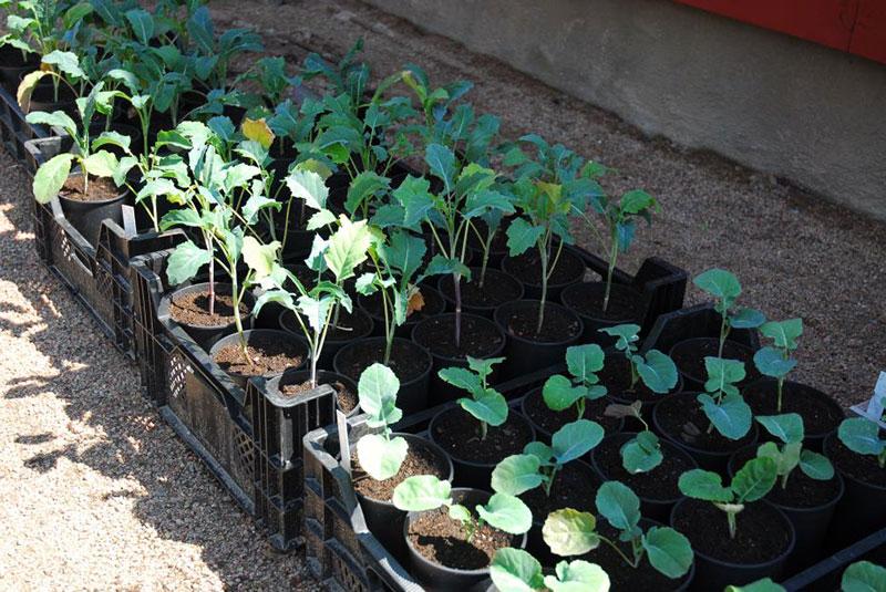 Utplantering av kålplantor