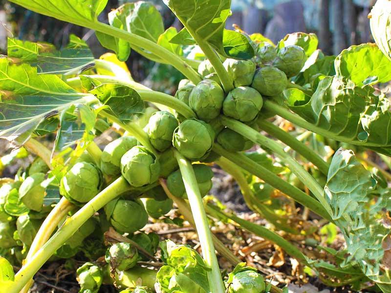 Brysselkål odling i köksland