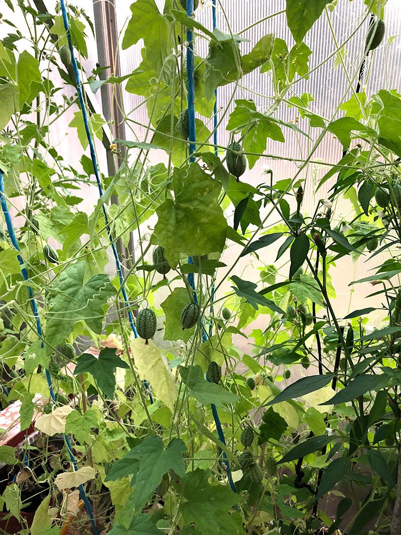 Växtsätt med långa rankor hos djungelgurka