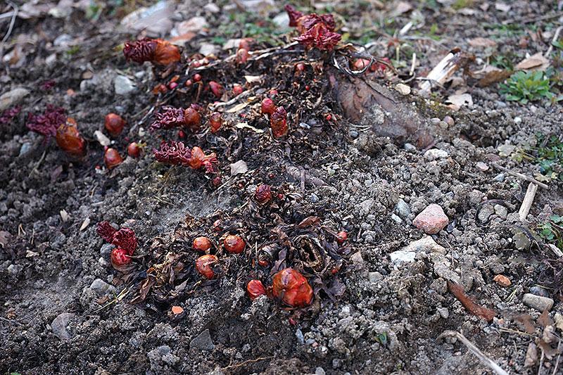 Första röda knopparna av rabarber visar sig