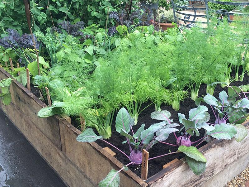 Växtföljd i pallkrage med olika köksväxter