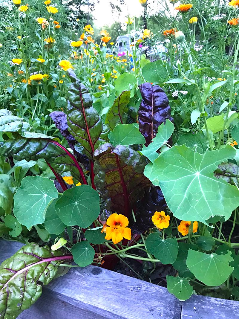 Ätbara blommor bland köksväxter