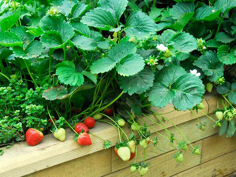 Odling av jordgubbar i pallkrage