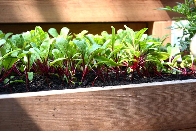 Groddplantor av rödbeta