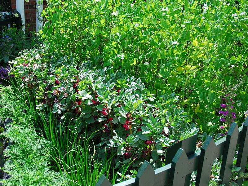 Bondböna sockerärta lök i köksträdgård