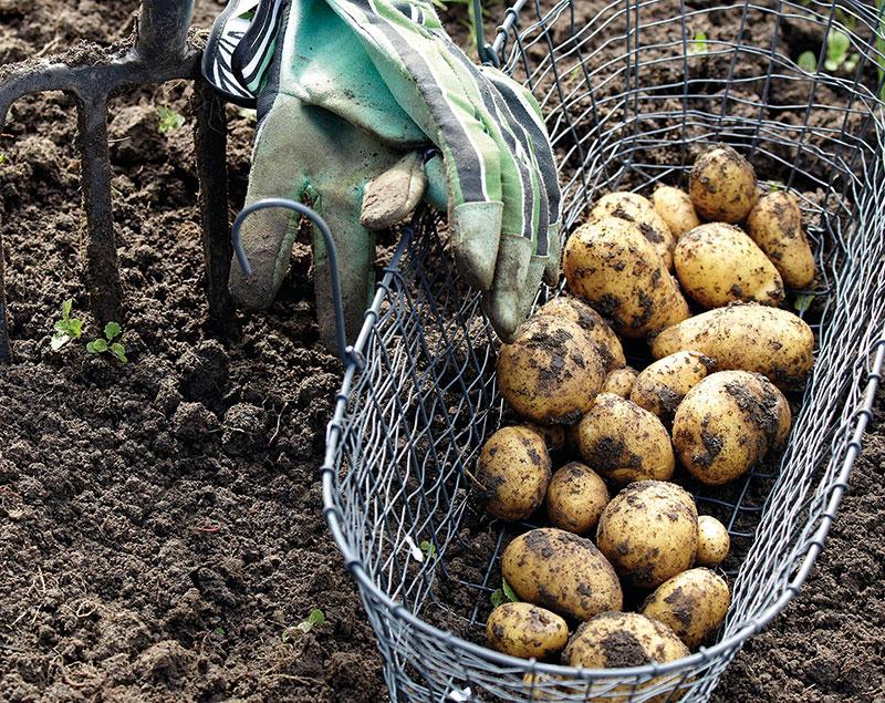 Skörd av hemodlad potatis