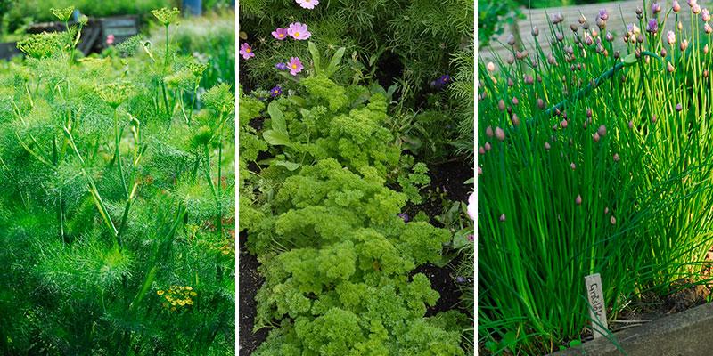dill persilja och gräslök i trädgårdsland