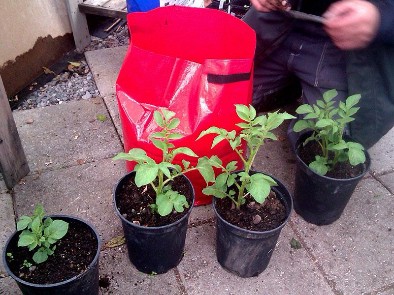 Odling av potatis i hink och odlingssäck