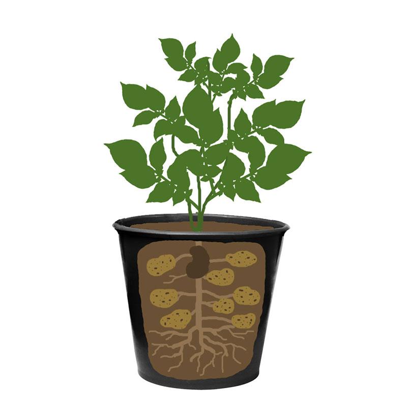 Färskpotatis odling i hink med stoloner och underjordisk stam