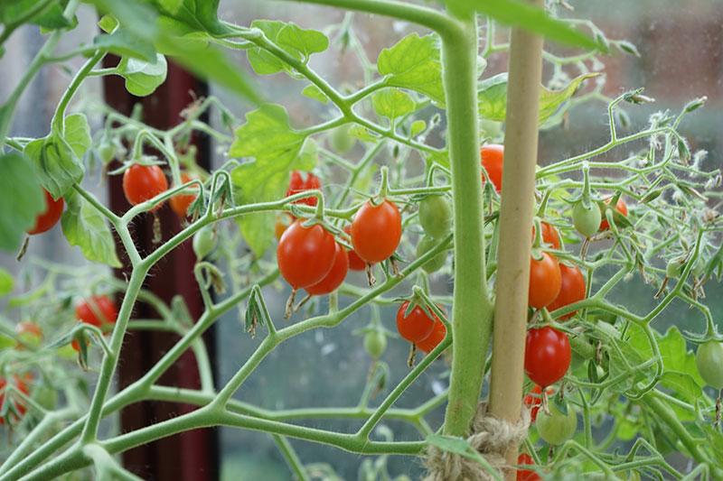 vinbärstomat odlad i växthus
