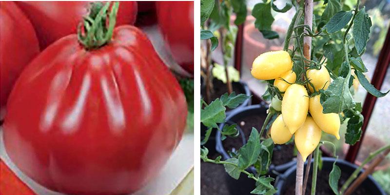 Tomat Borsalina och Banana Legs