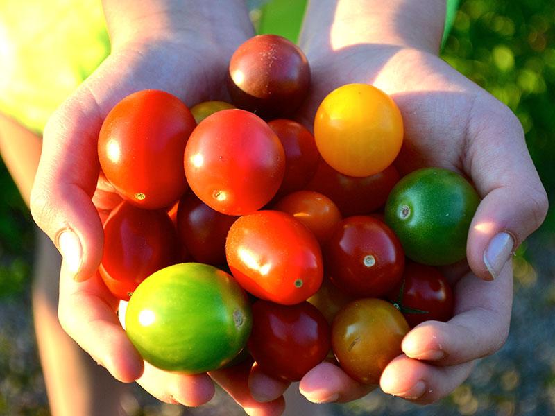 olika färger av tomat