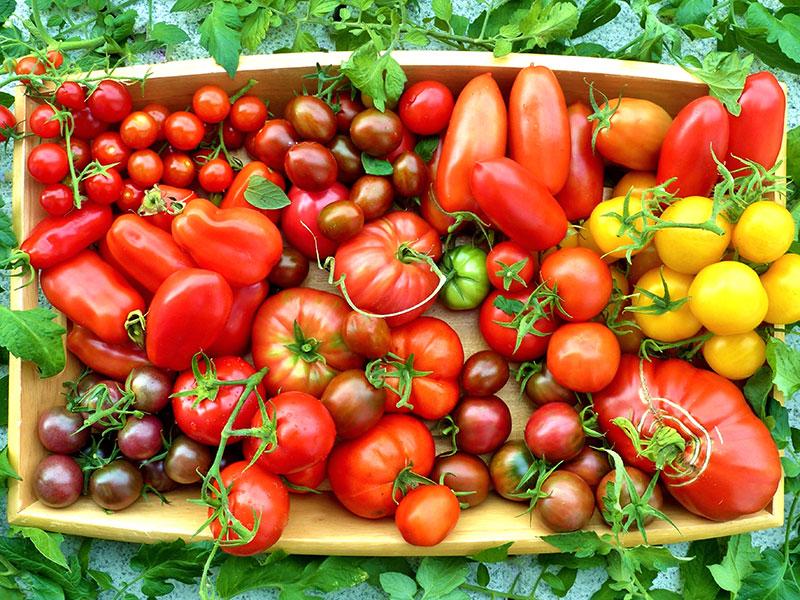 Olika former av tomater