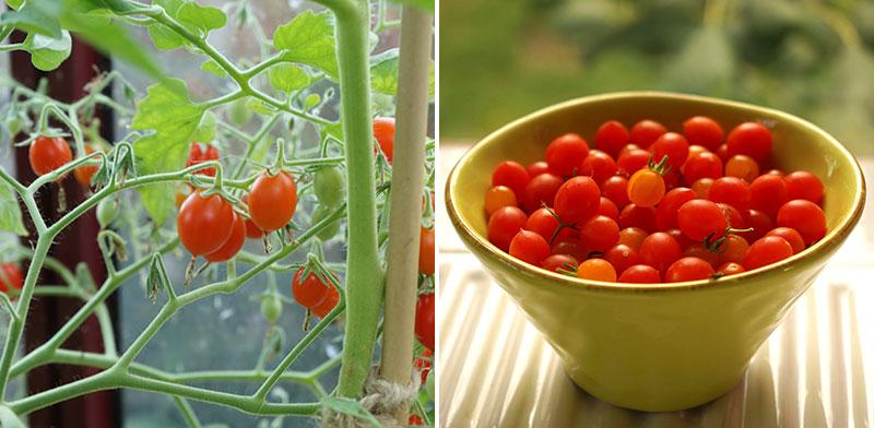 Vinbärstomat Solanum pimpinellifolium