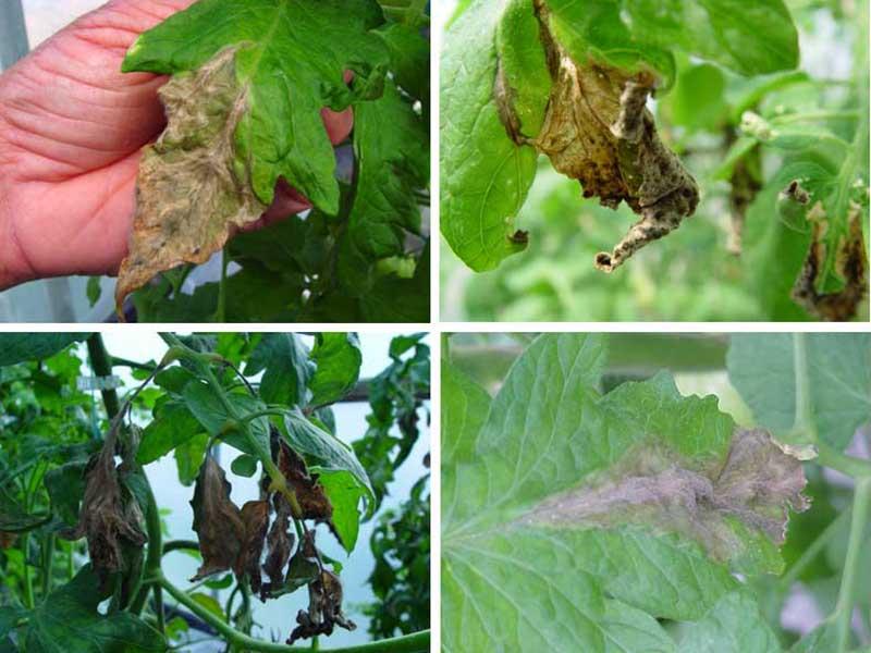 Gråmögel på tomatplanta