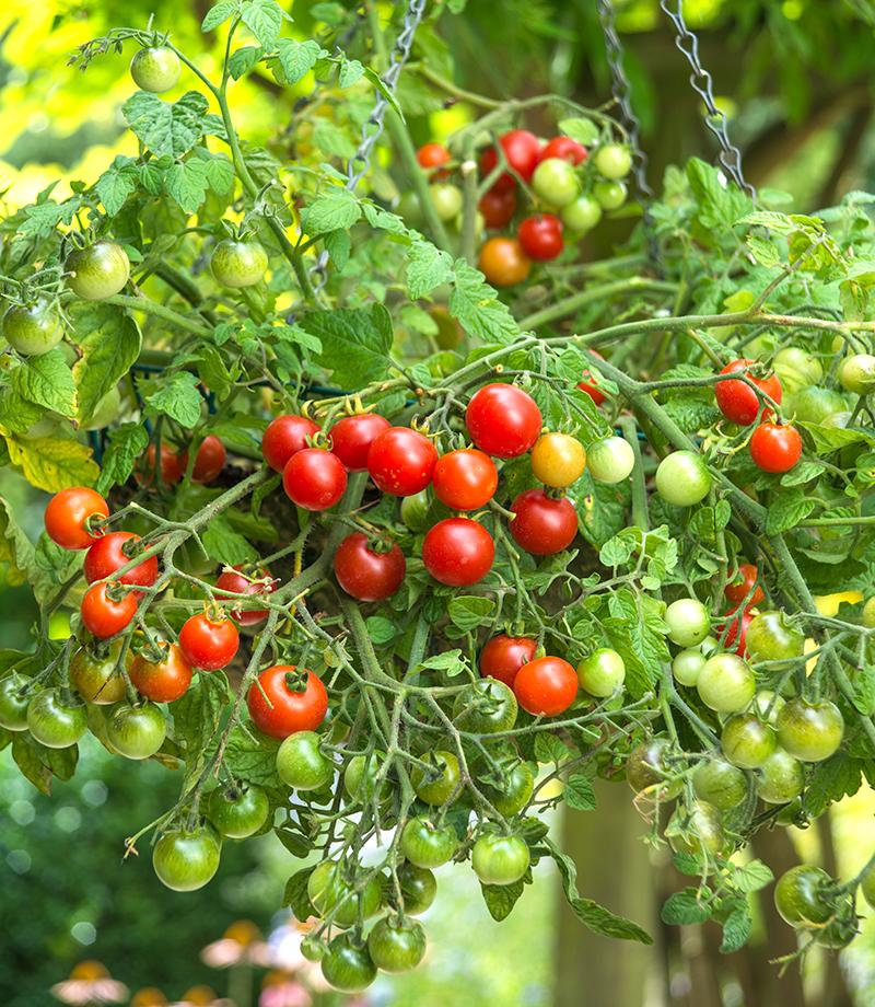 Välvuxen tomatplanta i ampel