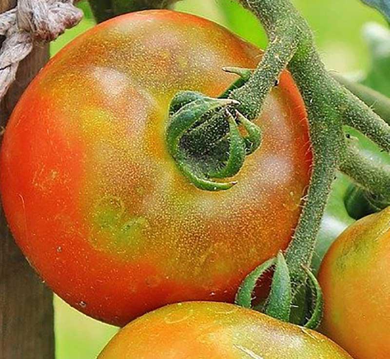 Grön nacke på tomatfrukt