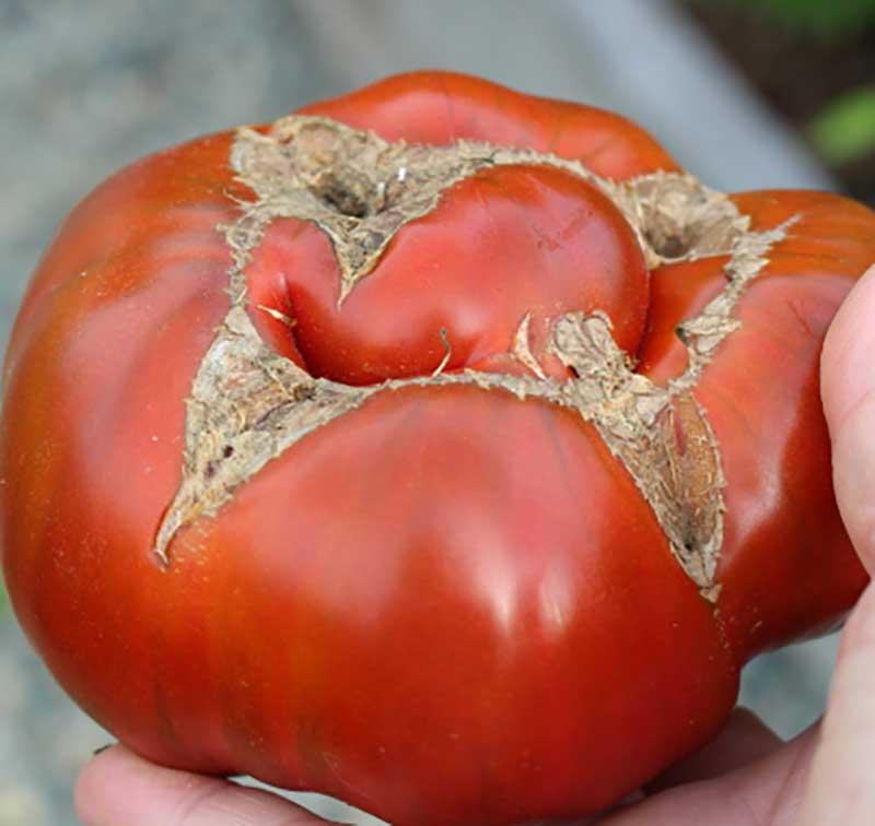 Korkfläckar tomat