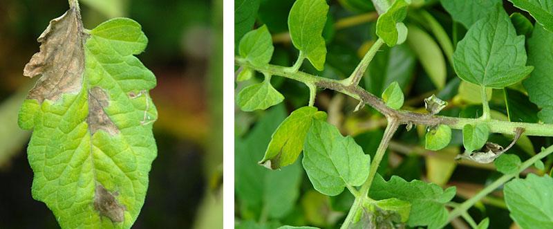 Potatisbladmögel på tomatplanta