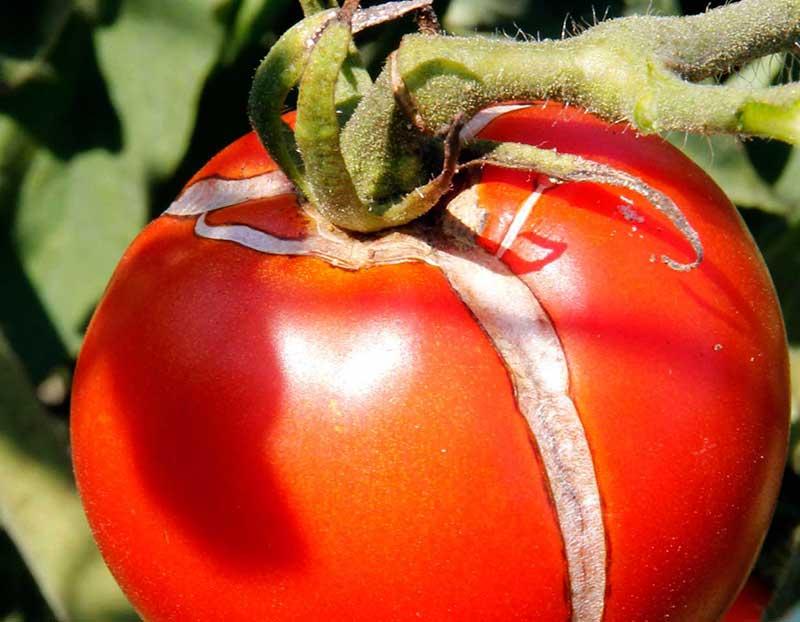 Sprucken tomat vid odling