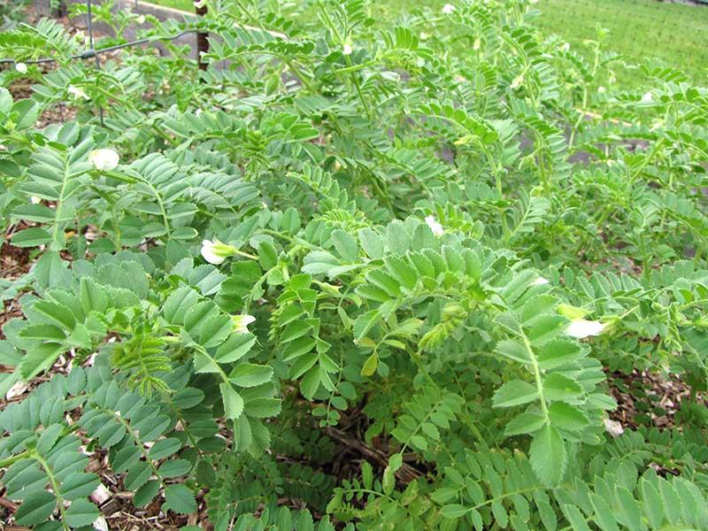 Blommande planta av kikärt i odling