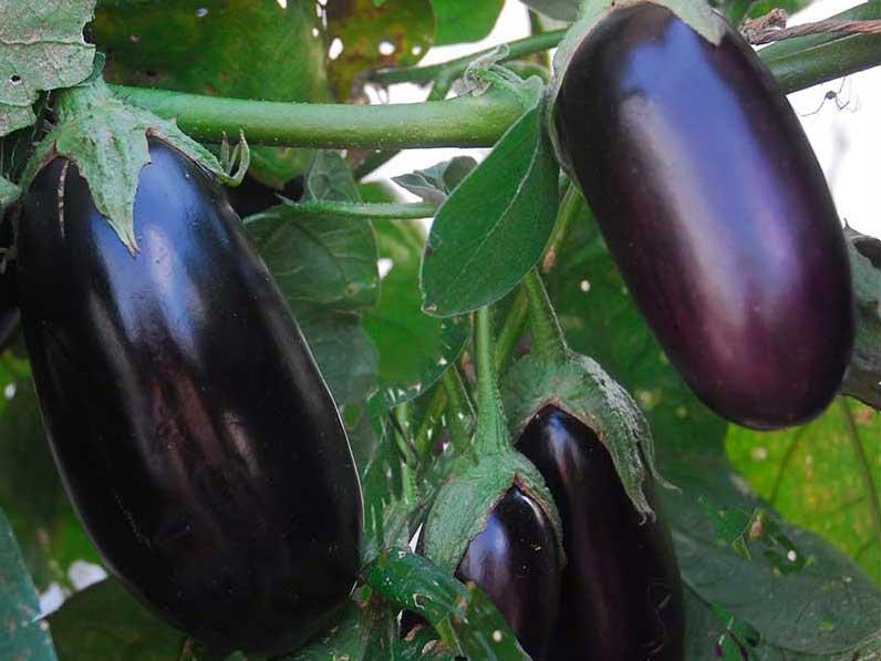 Äggplanta, aubergin
